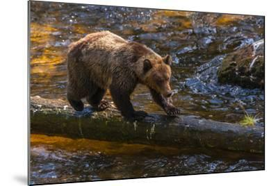 Grizzly Bear Watching for Salmon, Tongass National Forest Alaska, USA-Jaynes Gallery-Mounted Photographic Print