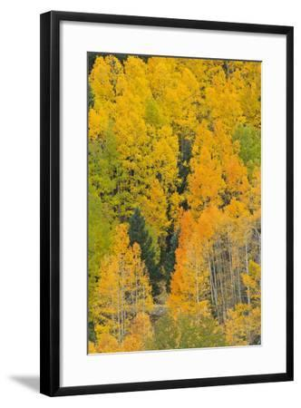 Quaking Aspens in a Fall Glow, Bald Mountain, New Mexico, USA-Maresa Pryor-Framed Photographic Print