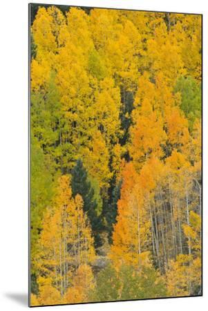 Quaking Aspens in a Fall Glow, Bald Mountain, New Mexico, USA-Maresa Pryor-Mounted Photographic Print