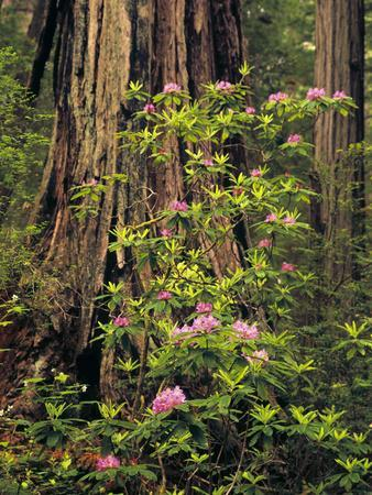 Rhododendrons Blooming in Groves, Redwood NP, California, USA-Jerry Ginsberg-Framed Photographic Print
