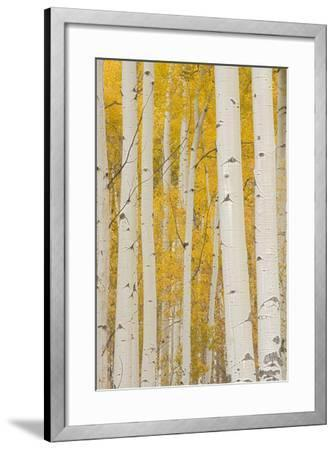 Aspen Trees, White River National Forest Colorado, USA-Charles Gurche-Framed Photographic Print