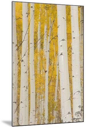 Aspen Trees, White River National Forest Colorado, USA-Charles Gurche-Mounted Photographic Print