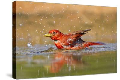 Summer Tanager (Piranga Rubra) Male Bathing, Texas, USA-Larry Ditto-Stretched Canvas Print
