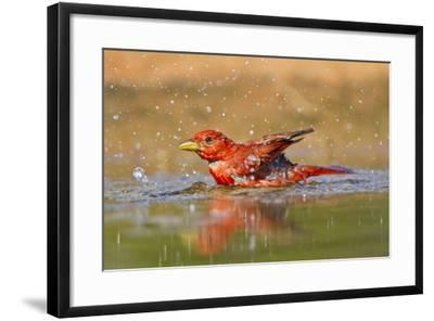 Summer Tanager (Piranga Rubra) Male Bathing, Texas, USA-Larry Ditto-Framed Photographic Print