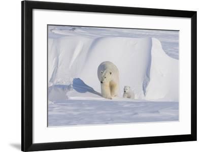 Polar Bear with Spring Cub, ANWR, Alaska, USA-Steve Kazlowski-Framed Photographic Print