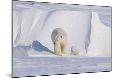 Polar Bear with Spring Cub, ANWR, Alaska, USA-Steve Kazlowski-Mounted Photographic Print