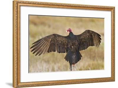 Turkey Vulture (Cathartes Aura) Warming in Morning Sun, Texas, USA-Larry Ditto-Framed Photographic Print