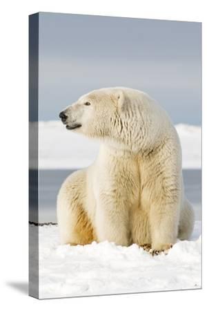 Polar Bear Sits Along Barrier Island, Bernard Spit, ANWR, Alaska, USA-Steve Kazlowski-Stretched Canvas Print