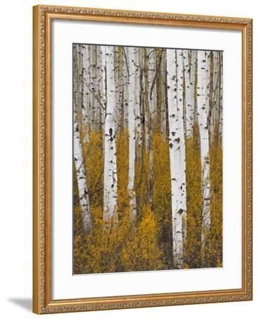 Aspens in Gunnison National Forest Colorado, USA-Charles Gurche-Framed Photographic Print