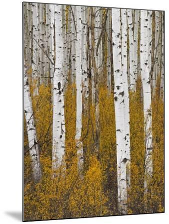 Aspens in Gunnison National Forest Colorado, USA-Charles Gurche-Mounted Photographic Print