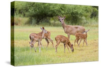 White-Tailed Deer (Odocoileus Virginianus) Doe with Fawns, Texas, USA-Larry Ditto-Stretched Canvas Print