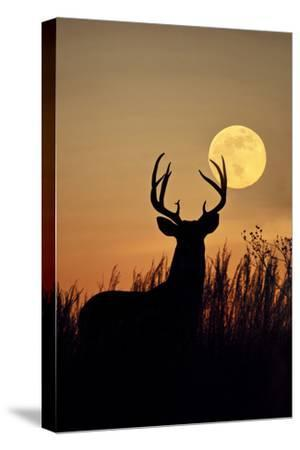 White-Tailed Deer (Odocoileus Virginianus) at Harvest Moon, Texas, USA-Larry Ditto-Stretched Canvas Print