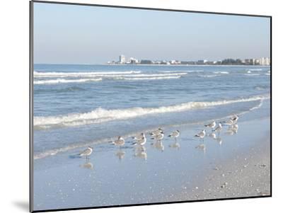 Laughing Gulls Along Crescent Beach, Sarasota, Florida, USA-Bernard Friel-Mounted Photographic Print
