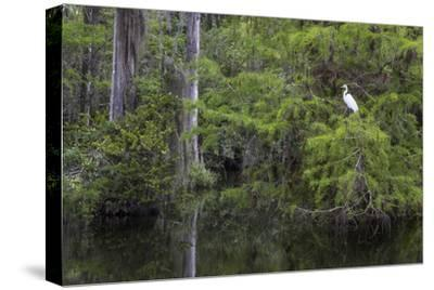 Great Egret in Everglades National Park, Florida, USA-Chuck Haney-Stretched Canvas Print