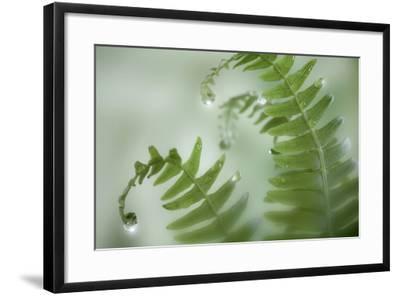 Close-Up of Dewy Deer Ferns, Seabeck, Washington, USA-Jaynes Gallery-Framed Photographic Print