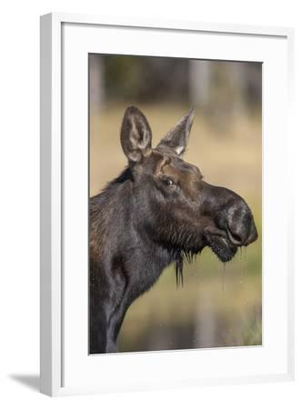 Moose in Watering Hole, Grand Teton National Park, Wyoming, USA-Tom Norring-Framed Photographic Print
