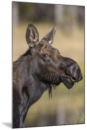 Moose in Watering Hole, Grand Teton National Park, Wyoming, USA-Tom Norring-Mounted Photographic Print