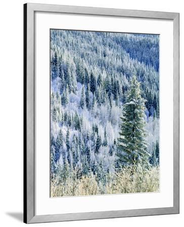 Aspen Trees, Mt Spokane State Park, Washington, USA-Charles Gurche-Framed Photographic Print