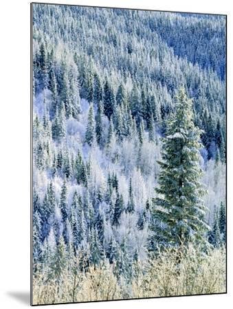 Aspen Trees, Mt Spokane State Park, Washington, USA-Charles Gurche-Mounted Photographic Print