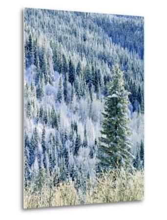 Aspen Trees, Mt Spokane State Park, Washington, USA-Charles Gurche-Metal Print