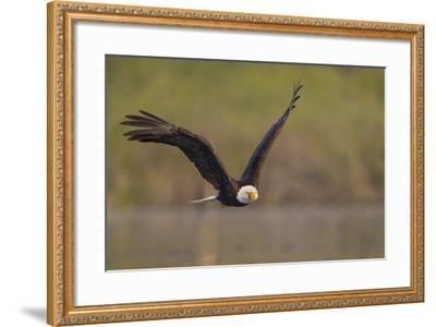 Bald Eagle (Haliaeetus Leucocephalus) in Flight, Washington, USA-Gary Luhm-Framed Photographic Print