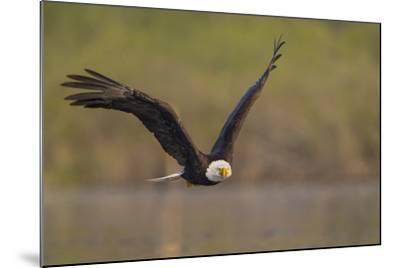 Bald Eagle (Haliaeetus Leucocephalus) in Flight, Washington, USA-Gary Luhm-Mounted Photographic Print