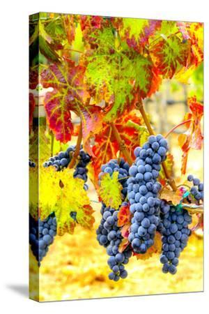 Cabernet Sauvignon Grapes Ready for Harvest, Washington, USA-Richard Duval-Stretched Canvas Print
