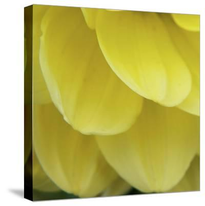 Dahlia Delicacy-Karen Ussery-Stretched Canvas Print