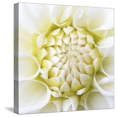 White Dahlia-Karen Ussery-Stretched Canvas Print