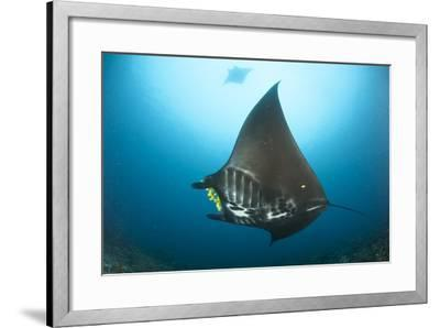 The Reef Manta Ray with Yellow Pilot Fish in Front of its Mouth--Framed Photographic Print