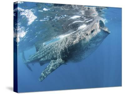 Whale Shark Feeding Off Coast of Isla Mujeres, Mexico--Stretched Canvas Print