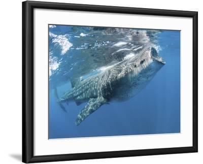 Whale Shark Feeding Off Coast of Isla Mujeres, Mexico--Framed Photographic Print