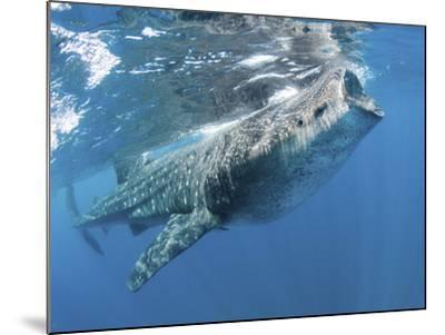 Whale Shark Feeding Off Coast of Isla Mujeres, Mexico--Mounted Photographic Print