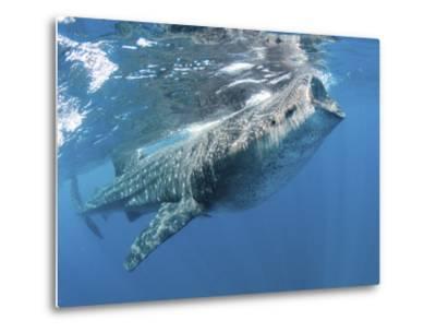 Whale Shark Feeding Off Coast of Isla Mujeres, Mexico--Metal Print