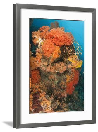 Colorful Reefs Covered in Orange Dendronephthya Soft Corals--Framed Photographic Print