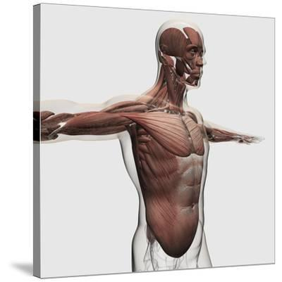 Anatomy of Male Muscles in Upper Body, Side View--Stretched Canvas Print