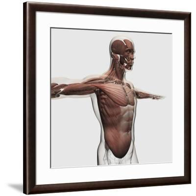 Anatomy of Male Muscles in Upper Body, Side View--Framed Art Print