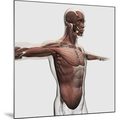 Anatomy of Male Muscles in Upper Body, Side View--Mounted Art Print