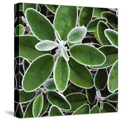 White Edged Shrub-Karen Ussery-Stretched Canvas Print