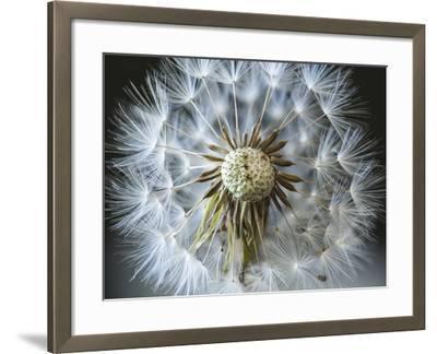 Dandelion Seed-Margaret Morgan-Framed Photographic Print