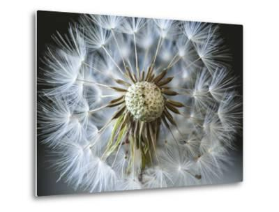 Dandelion Seed-Margaret Morgan-Metal Print
