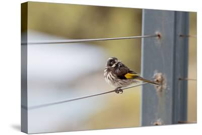 New Holland Honey Eater-Margaret Morgan-Stretched Canvas Print