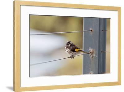 New Holland Honey Eater-Margaret Morgan-Framed Photographic Print