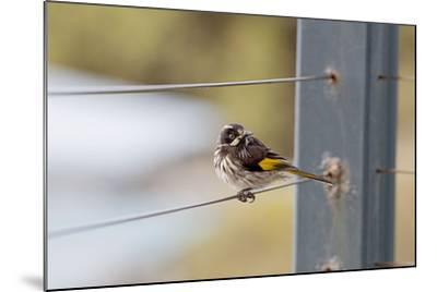 New Holland Honey Eater-Margaret Morgan-Mounted Photographic Print