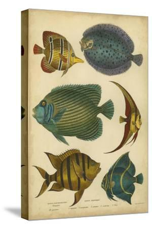 Non-Embellished Goldsmith's Spinous Fishes-Goldsmith-Stretched Canvas Print