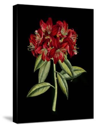 Crimson Flowers on Black II--Stretched Canvas Print