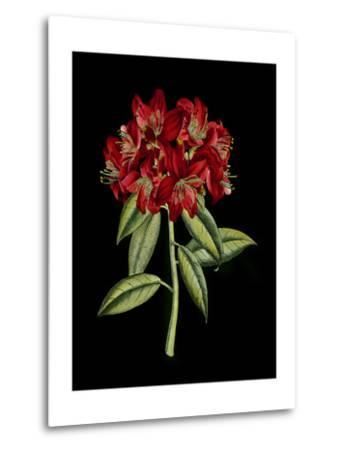 Crimson Flowers on Black II--Metal Print