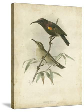 Antique Gould Hummingbird II-John Gould-Stretched Canvas Print