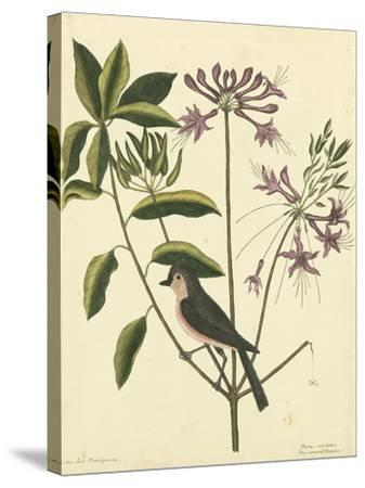 Catesby Bird and Botanical I-Mark Catesby-Stretched Canvas Print