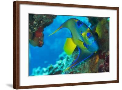 A Queen Angelfish under a Ledge Off Cooper Island, British Virgin Islands-Mauricio Handler-Framed Photographic Print